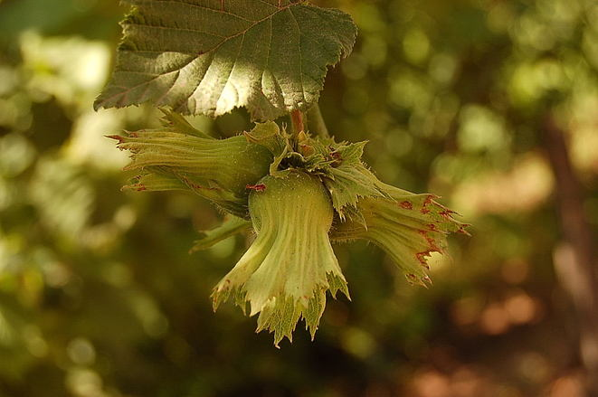 hazelnut bush